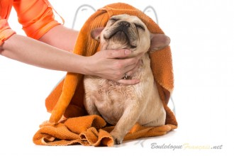 Bouledogue toilettage