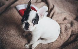 bouledogue francais difference boston terrier