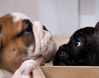 Quelles sont les différences entre un bouledogue français et un bulldog anglais?